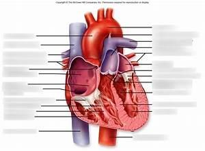 Anatomy Heart Quizlet