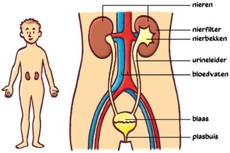 Basis penis