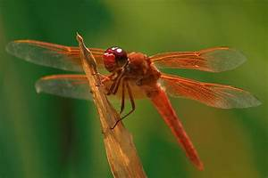 Orange Dragonfly Photograph by Doug Dailey