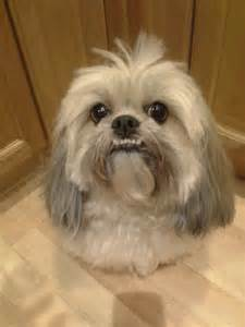 zoey lhasa apso my cutie pies the o jays and teeth