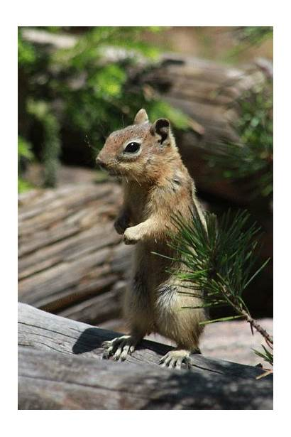 Squirrel Ground Golden Mountain Rocky Mantled Colorado