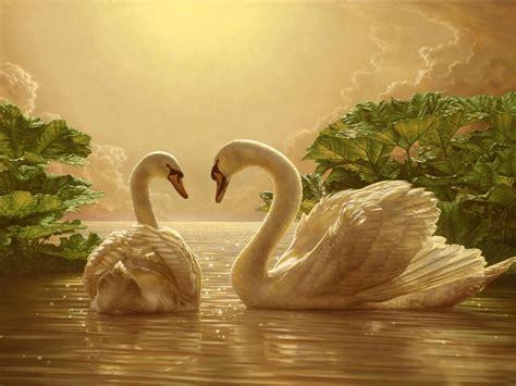 beautiful love swan  romance  wallpapers