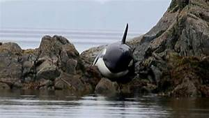 See The Incredible Rescue Of An Orca Stranded Along