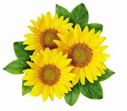 Sunflower Drawing Clipart Sunflowers Cartoon Transparent Yellow