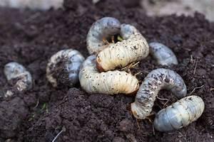 Larven In Der Erde : engerlinge k ferlarven bestimmen erfolgreich bek mpfen plantura ~ Markanthonyermac.com Haus und Dekorationen