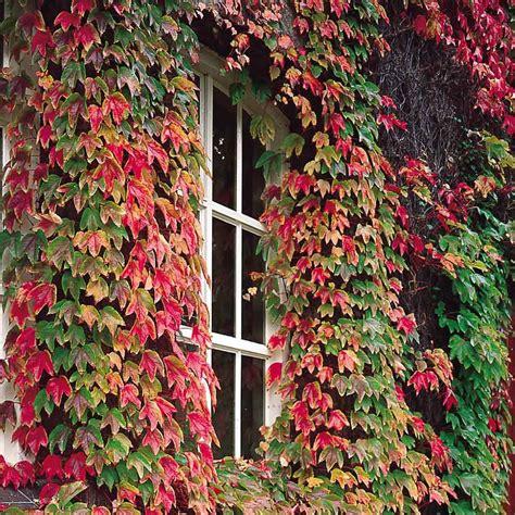 Boston Ivy (parthenocissus)  Mirror Garden