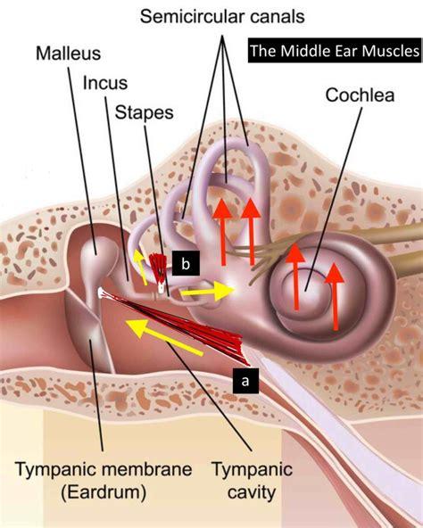 menieres disease due  middle ear muscles  bad