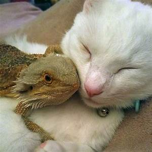 Cat and bearded dragon have strange but adorable friendship