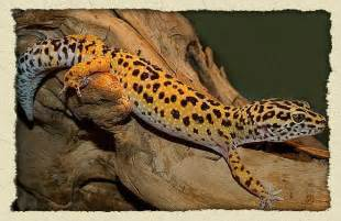 riverview science leopard geckos