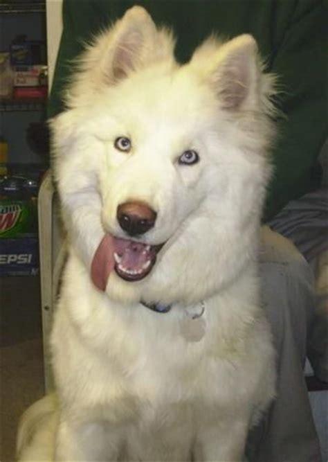 do samoyeds shed more than huskies 17 best images about samojusky on adoption