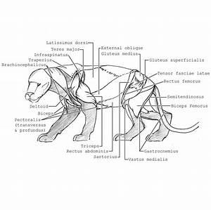 Bengal Tiger  Skeletal  Muscular System