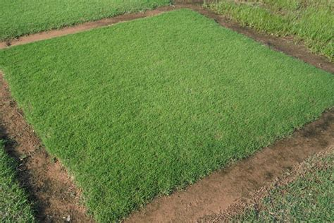 Latitude 36 Bermuda Grass
