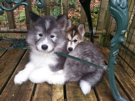 Do Samoyed Huskies Shed by 25 Best Ideas About Hypoallergenic Breed On