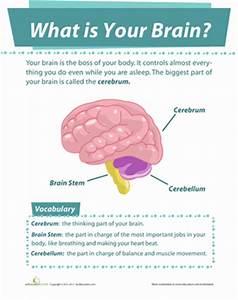 Your Brain | Worksheet | Education.com