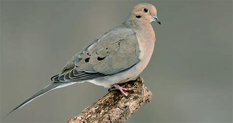 Mourning Dove Overview All About Birds Cornell Lab of