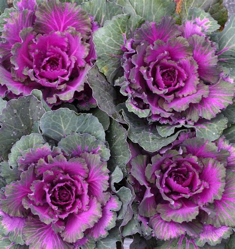 ornamental cabbage perennial ornamental cabbage kale sloat garden center