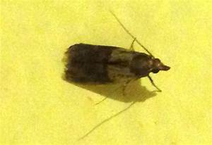 Indian meal moth what39s that bug for Moths in my pantry