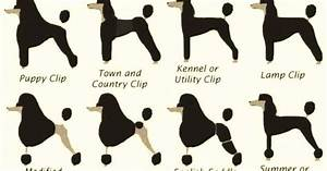 Andis Poodle Chart Repinned Poodle Styles Poodle Grooming Hairstyles