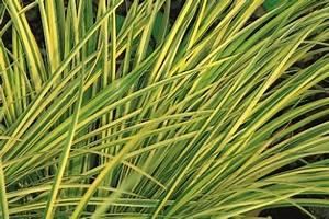 Gräser Winterhart Immergrün : acorus gramineus ogon im 12 cm topf kalmusgras gr ser pflanzen versand f r die besten ~ Frokenaadalensverden.com Haus und Dekorationen