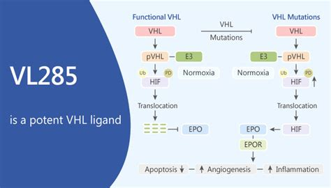 VL285, is a Potent VHL Ligand - Network of Cancer Research