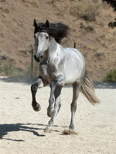 andalusian horses horse pretty grey andalusians colors silver most spanish want mane