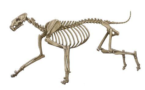 cat bones february 2013 chasing sabretooths