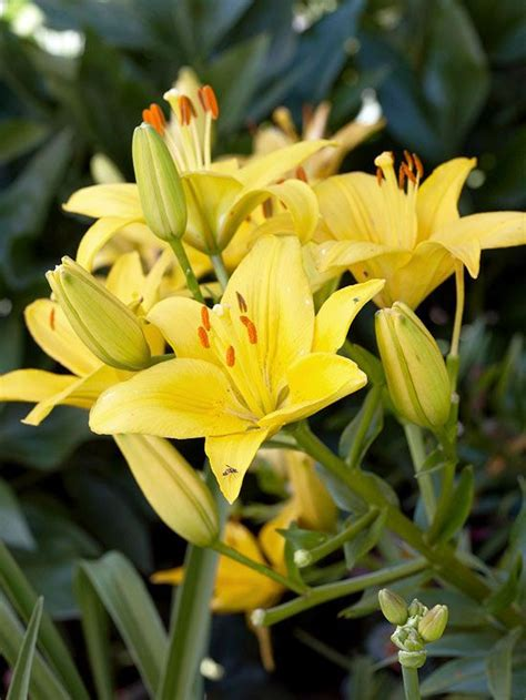 yellow flowers for your garden