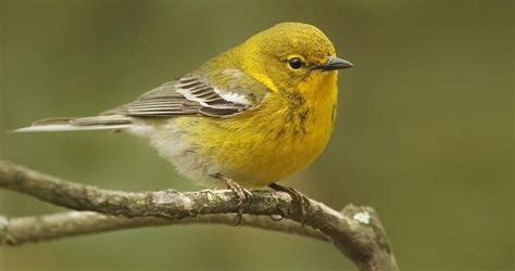pine warbler life history all about birds cornell lab of