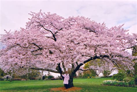 cherry blossom tree l vancouver to select official city tree vancouver cherry