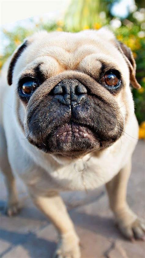 Animal Wallpapers For Iphone - brown pug puppy iphone wallpaper hd animal