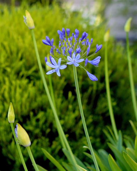 diary   african lily