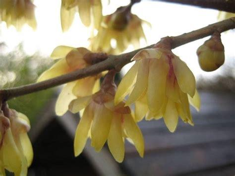 fiori profumati invernali calicanto chimonanthus praecox calycanthus praecox