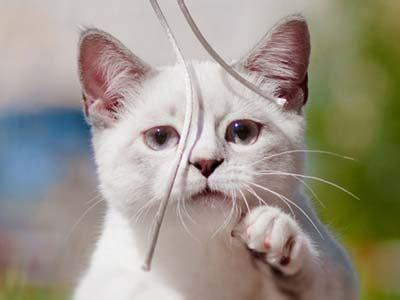 munchkin cat information characteristics facts names