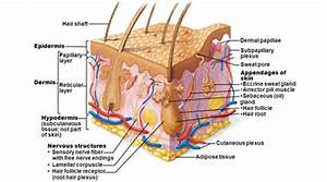 Integumentary System of Human Body - Definition and ...