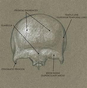 Frontal Bone  Anterior View