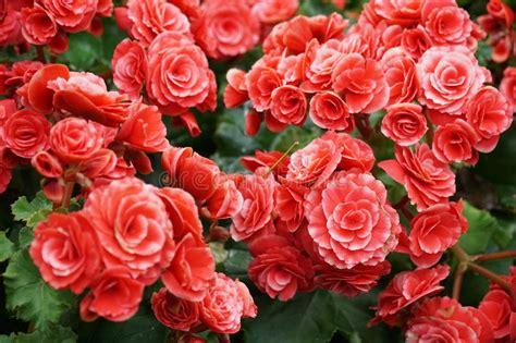 fiori begonie numerosi fiori luminosi delle begonie tuberose fotografia