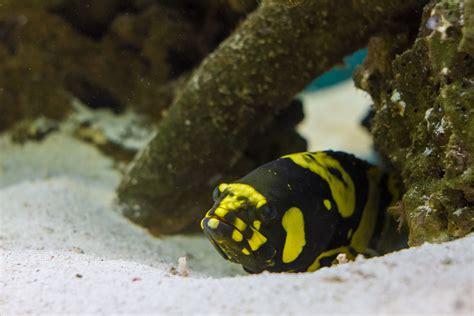grouper bumblebee fish bee bumble saltwater marinefishez
