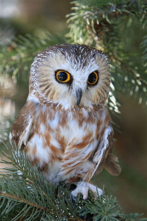 Image result for saw whet owl