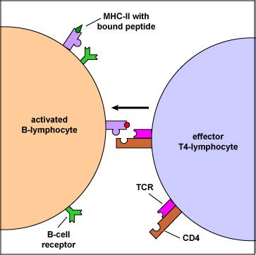 biol  lecture guide  lymphocyte recognition  mhc