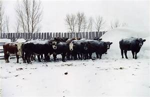 Tips to winterize your cow herd – WI Beef Information Center