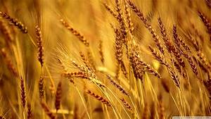 Wheat Wallpapers - Wallpaper Cave