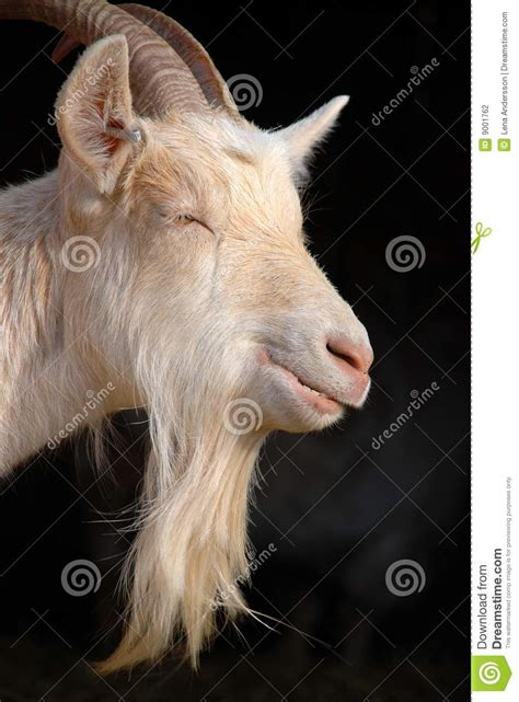 goat beard stock photo image  horn goat chewing