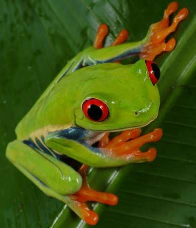green frogs animal pictures  facts factzoocom