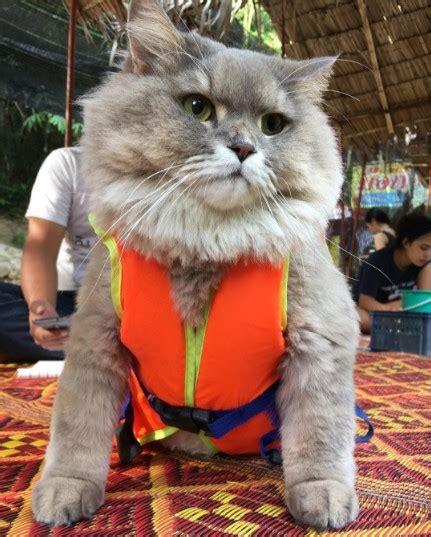 bone bone  big fluffy cat  thailand