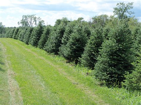 wholesale christmas trees high ground tree farm