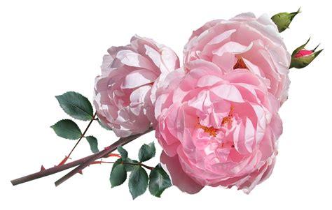 pink david roses free photo rose pink david austin flowers free image on pixabay 3009010