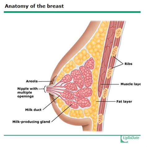 Milk Ducts In Breast Images Anatomy Of Milk Ducts In Breast Physiology Pathology