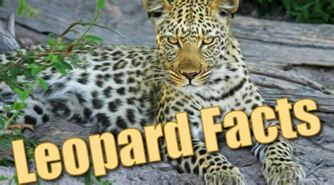 leopard facts  kids information pictures activities