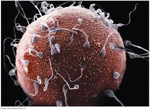 Adnan U0026 39 S Blog  The Egg And The Sperm