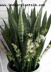 Joi Light Green Snake Plants Mother In Law Tongue Plant Benefits
